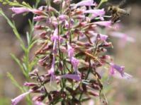 Syncolostemon macranthus