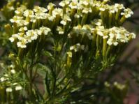 Tagetes minor, inflorescence