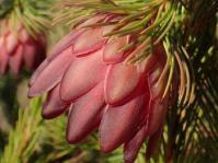 Protea nana (Marion Oliver)