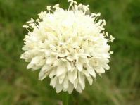 Cephalaria pungens