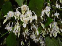 Rinorea angustifolia subsp. natalensis (Geoff Nichols)