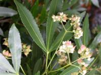Platylophus trifoliatus