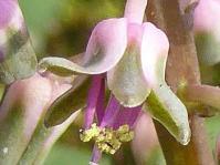 Ledebouria parvifolia