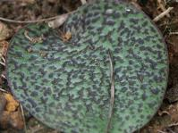 Ledebouria mokobulanensis