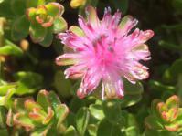 Diastella divaricata subsp. divaricata