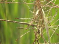 Heteropogon contortus (L.Fish).