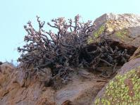 Pelargonium vanderwaltii