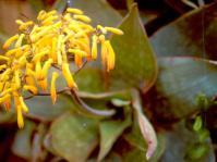 Aloe reynoldsii (Ernst van Jaarsveld)