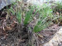Aloe rouxii