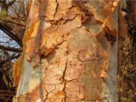 Albizia tanganyicensis subsp. tanganyicensis