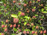 Cephalanthus natalensis