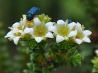 Diosma haelkraalensis