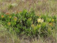 Protea roupelliae subsp. hamiltonii
