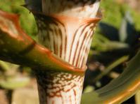 Aloe varimaculata