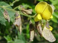 Rhynchosia caribaea (Geoff Nichols)