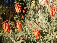 Aloiampelos ciliaris in a garden (AW Klopper)