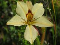 Wachendorfia brachyandra (Gigi Laidler)
