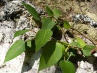 Ficus muelleriana