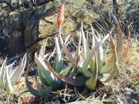 Aloe reitzii var. vernalis