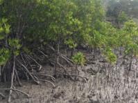 Red Mangrove, Rhizophora mucronata.