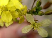 Brassica tournefortii (Ron Vanderhoff)