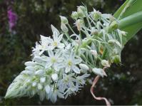 Albuca lebaensis inflorescence.