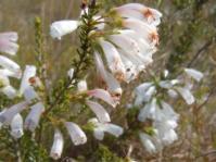 Erica glandulosa subsp. breviflora