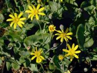 Othonna perfoliata (John Manning)