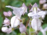 Plectranthus lucidus