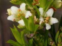 Diosma aristata (A.L. Schutte-Vlok)