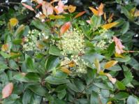 Lydenburgia abbottii