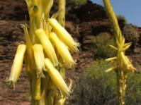 Aloe kamnelii