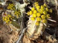 Euphorbia nesemannii (Werner Voigt)