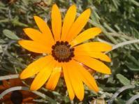 Arctotis angustifolia