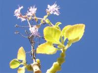 Aeollanthus haumannii
