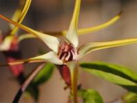 Strophanthus amboensis