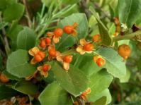 Maytenus procumbens, fruits. (Ernst van Jaarsveld)