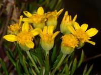 Euryops linifolius