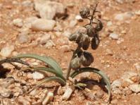 Ledebouria apertiflora