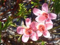 Pelargonium incarnatum