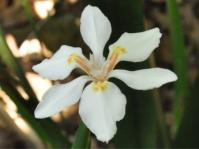 Dietes butcheriana