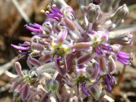 Ledebouria ovatifolia subsp. scabrida
