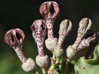 Ceropegia crassifolia var. crassifolia