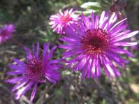 Drosanthemum longipes