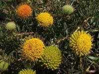 Leucospermum prostratum
