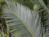 Encephalartos cerinus (Willem Froneman)