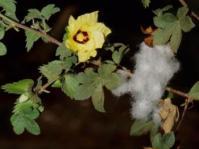 Gossypium herbaceum subsp. africanum (Ernst Schmidt)