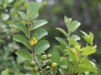 Grewia retinervis