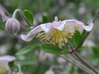 Clematis brachiata x villosa 'Silver Beard'