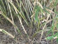 Bergbambos tessellata  (= Thamnocalamus tessellatus)